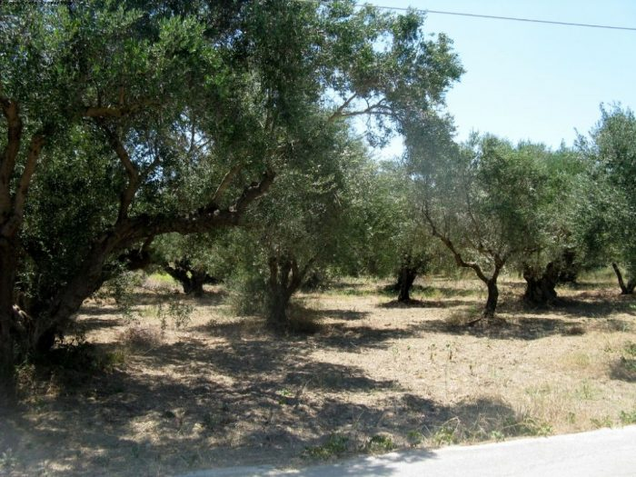Plot with olive trees in Kalidonia village