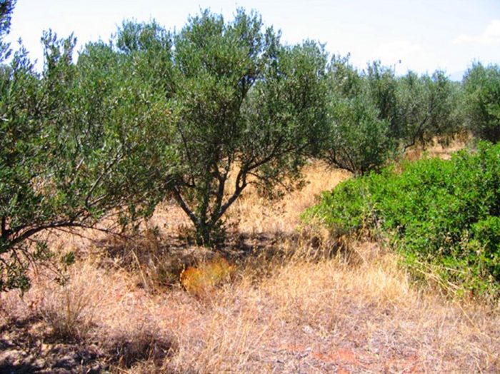 Plot with olive trees on the Akrotiri Peninsula