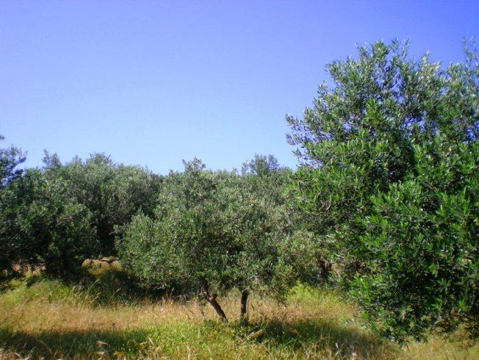 Αμφιθεατρικό αγροτεμάχιο με 45 ελαιόδεντρα στο Ακρωτήρι