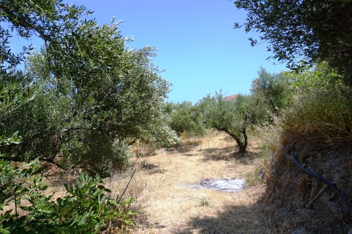 For sale a large agricultural land with olive trees